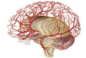 Beyindeki Kan Damarları Ne Kadar Uzun?