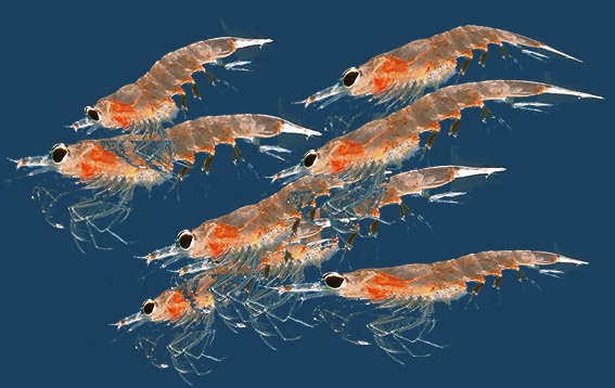 krill oil aldatmacası
