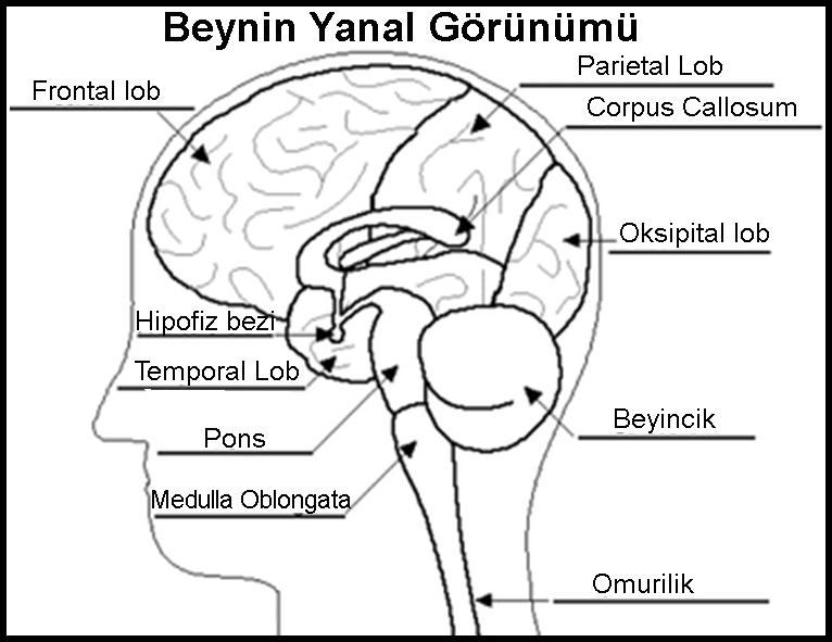 Beyindeki Bilgiye Erişim Stratejisi - Hatırlama Çalışması