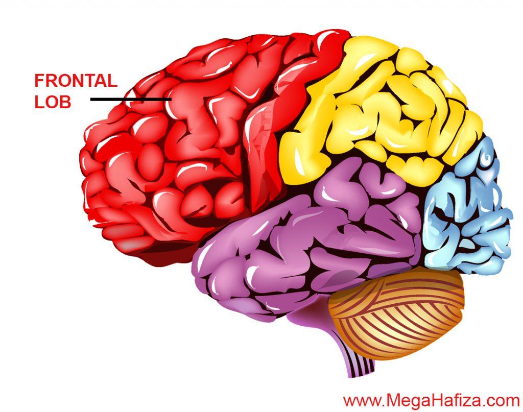 Frontal Lob Nedir - Frontal Lobe