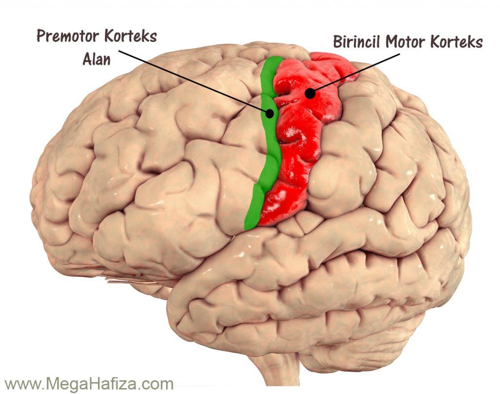 Premotor Cortex Area - Premotor Korteks Alan