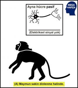ayna hücreler - ayna nöronlar - maymun pasif dinleniyor