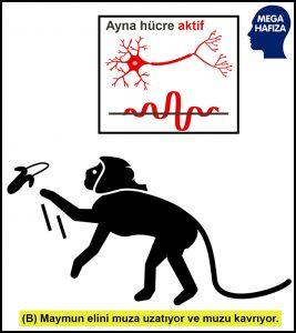 ayna nöronlar - ayna hücreler - maymun - muza uzanıyor ve kavrıyor