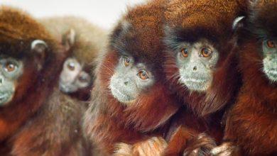 beş maymun deneyi hikayesi - edimsel koşullanmanın etkisi