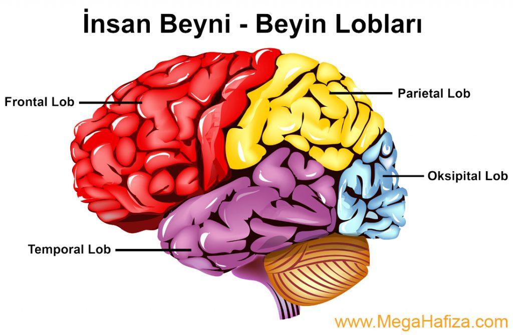 temporal loblar / temporal lobes - temporal lob nedir - temporal loblar nedir
